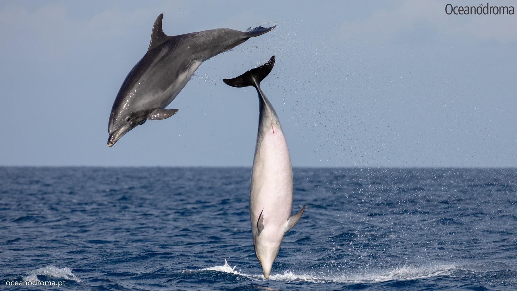 wbvoe8-common-bottlenose-dolphin-tursiops-truncatus