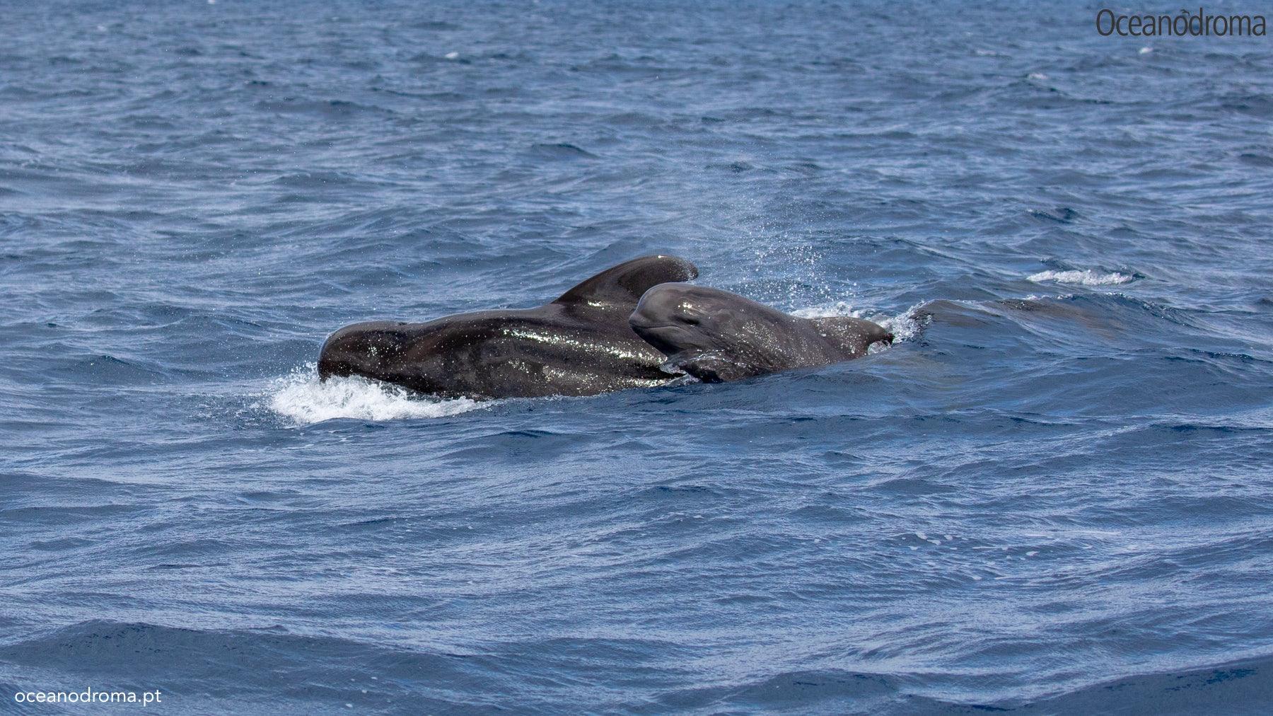 wbxno8-short-finned-pilot-whale-globicephala-macrorhynchus